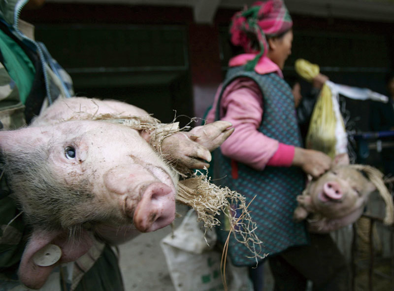 豬肉價為何逆勢下跌?中國土豬面臨絕種