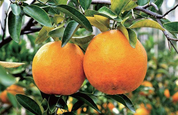 享有四美譽的橘