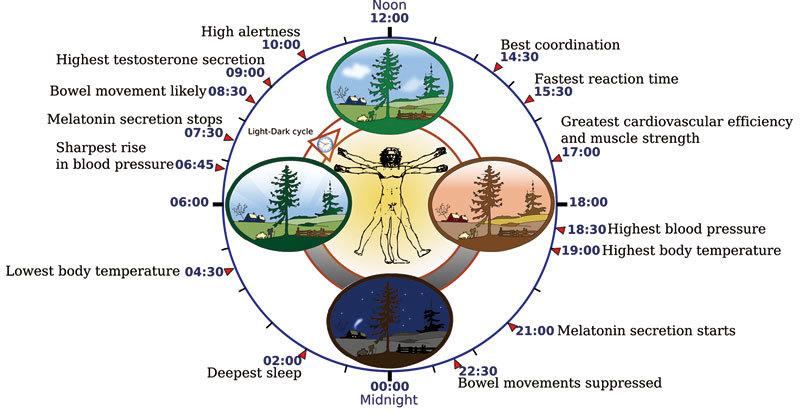 >研究:人體肌肉內也存在生物鐘