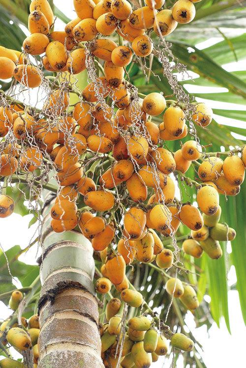 中國最早的口香糖——檳榔