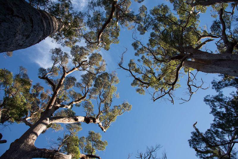 >西澳樹之旅 身心溶入古老森林