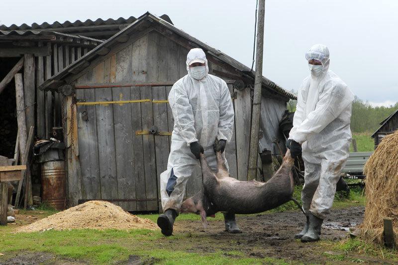 中共掩蓋豬瘟來自俄羅斯 非洲豬瘟大陸失控
