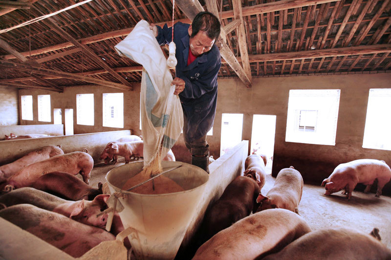 非洲豬瘟加速暴發 病毒突變可能性大增 當局束手無策