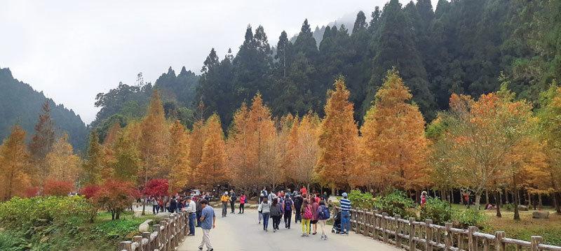 >杉林溪楓紅層層 黃金水杉妝點初冬